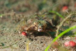 BD-151227-Dauin-1181-Eurypegasus-draconis-(Linnaeus.-1766)-[Short-dragonfish].jpg